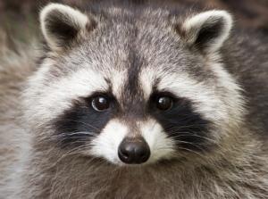 Raccoon Head